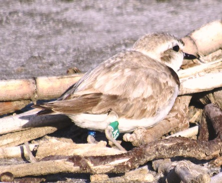 Plover female A3 is now nesting in northern San Diego County.